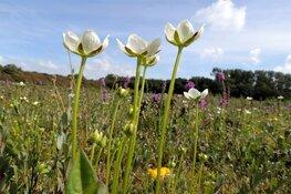 Op zoek naar de schoonheid van parnassia in Refugium bij Den Helder