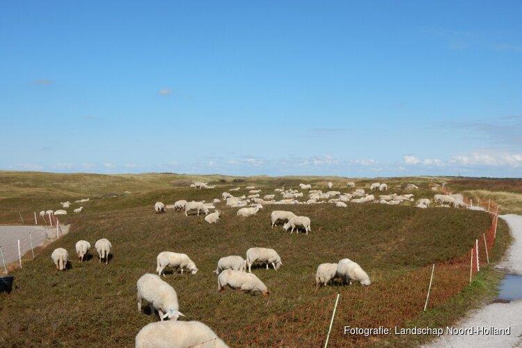 Prachtig gezicht: schaapskudde weer te zien in Noordduinen