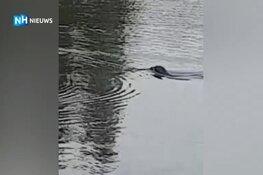 Schattig en uniek, maar ook zorgen om zeehondenpup in Helderse woonwijk