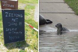 Oproep aan recreanten Den Helder: laat zeehond en pup met rust!