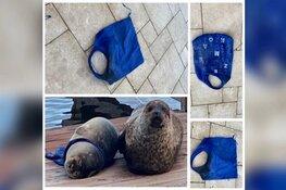 Zeehondenpup bij Den Helder na dagen bevrijd van stuk zwerfafval