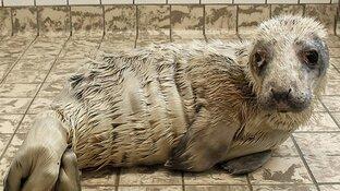 Verzwakte zeehond met ontstoken ogen bij Ecomare: publiek om hulp gevraagd