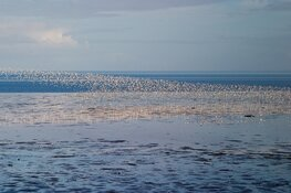 Invasie van trekvogels op Balgzand