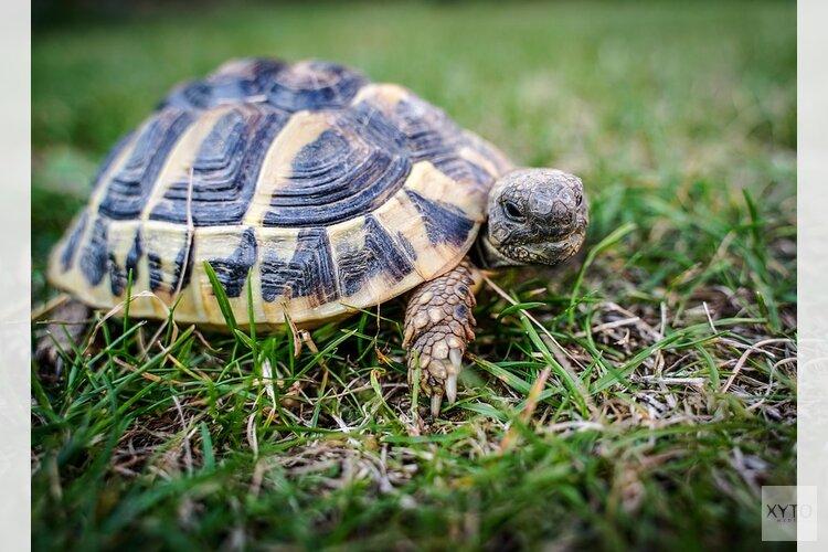 """Bijzondere maar """"levensgevaarlijke"""" bijtschildpad gevonden in Den Helder"""