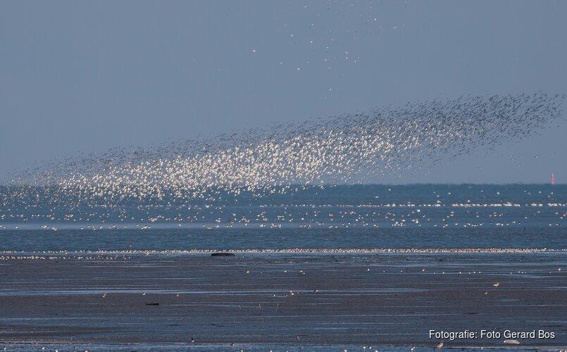 Roofvogels kijken op Balgzand