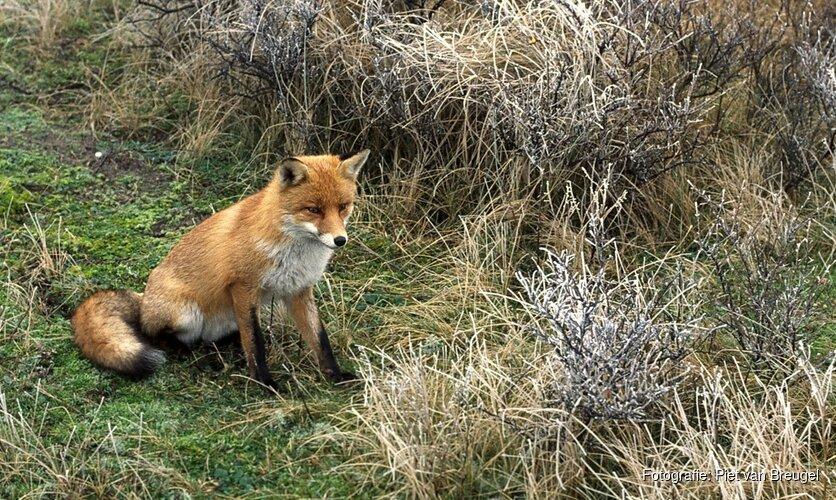 Luister, het is bronsttijd van de vossen!